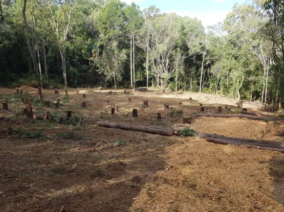 500 Exotic Pines Gone